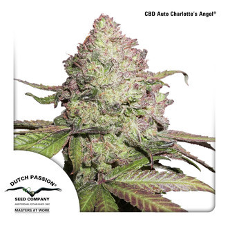 CBD Auto Charlotte's Angel (Dutch Passion) Féminisée