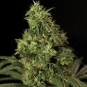 Northern Light (Bulldog Seeds) féminisée