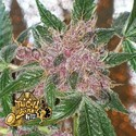 Cherries Jubilee (Cali Connection) feminized