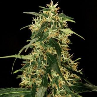 Silver Star Haze (Bulldog Seeds) féminisée