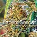California Orange (Expert Seeds) féminisée