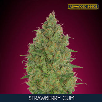 Strawberry Gum (Advanced Seeds) féminisée