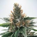 God's Glue (Ministry Of Cannabis) féminisée