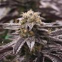 OGKZ (Humboldt Seeds) feminized