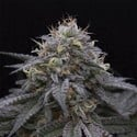 Sugar Breath (Humboldt Seeds) feminisee