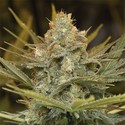 Three Blue Kings (Humboldt Seeds) feminized