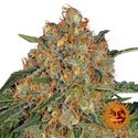Orange Sherbert (Barney's Farm) féminisée