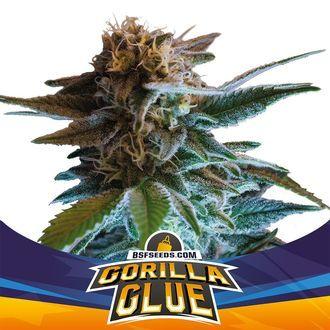 Gorilla Glue Auto (BSF Seeds) féminisée