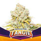 Tangie (BSF Seeds) féminisée