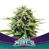 Moby-D (BSF Seeds) féminisée