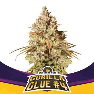 Gorilla Glue 4 (BSF Seeds) Féminisée