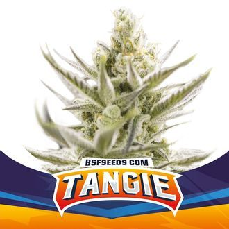 Tangie XXL Auto (BSF Seeds) féminisée