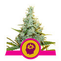 AMG - Amnesia Mac Ganja (Royal Queen Seeds) féminisée