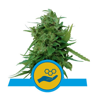 Solomatic CBD (Royal Queen Seeds) féminisée