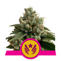 Legendary Punch (Royal Queen Seeds) féminisée