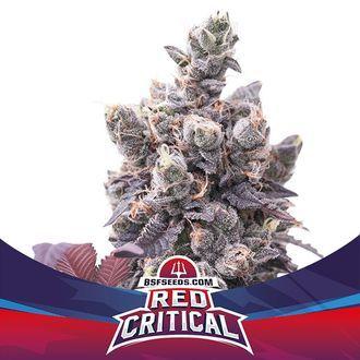 Red Critical Auto (BSF Seeds) féminisée