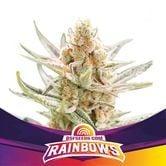 Rainbows (BSF Seeds) féminisée