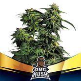 OBG Kush (BSF Seeds) féminisée