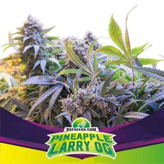 Pineapple Larry OG (BSF Seeds) féminisée