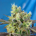 Do-Sweet-Dos (Sweet Seeds) feminized