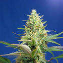 Sweet Pure Auto CBD (Sweet Seeds) feminized