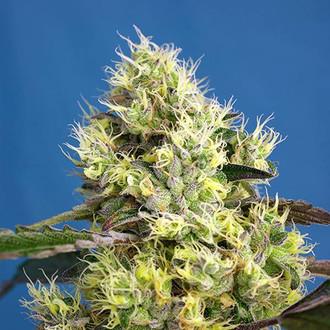 Sweet Gelato Auto (Sweet Seeds) féminisée