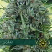 AK-49 (Vision Seeds) feminisiert