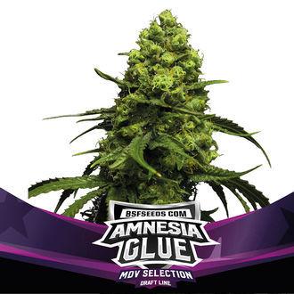 Amnesia Glue (BSF Seeds) féminisée