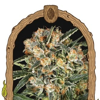 Hippie Therapy CBD (Exotic Seed) féminisée
