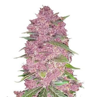 Purple Lemonade (FastBuds) féminisée