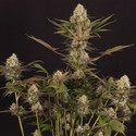 Black ZZ (Exotic Seed x Zamnesia) féminisée