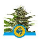 Tatanka Pure CBD (Royal Queen Seeds) féminisée
