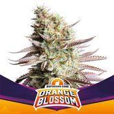 Orange Blossom (BSF Seeds) feminized