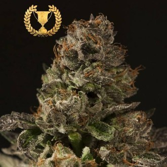 Strawberry Sour Diesel (Devil's Harvest) féminisée