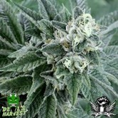 Strawberry Sour Diesel (Devil's Harvest) Femminizzata