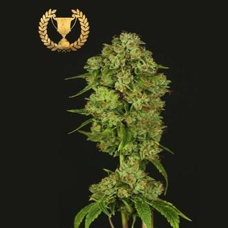 Casey Jones (Devil's Harvest Seeds) féminisée