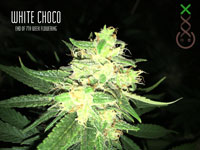 White Choco Amsterdam Genetics
