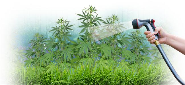 L'eau Du Robinet Convient-elle Au Cannabis ?