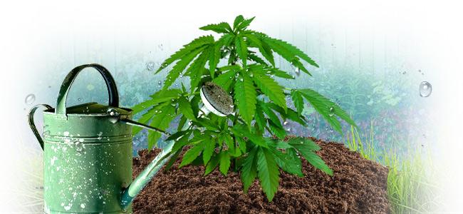 Quelle Est La Bonne Façon D'arroser Le Cannabis ?