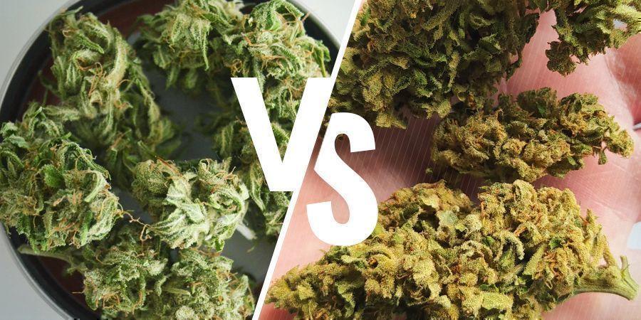 Cannabis Cultivé En Intérieur Vs En Extérieur : Couleur