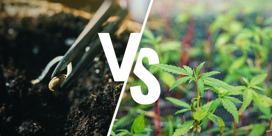 Est-Ce Important Que Vous Cultiviez De L'Herbe À Partir De Graines Ou De Clones ?