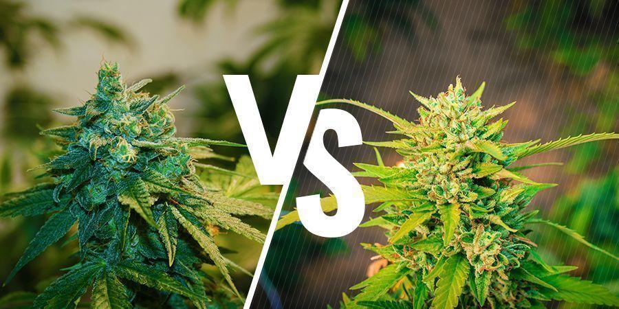 Cannabis Cultivé En Intérieur Vs En Extérieur : Comment Les Comparer ?
