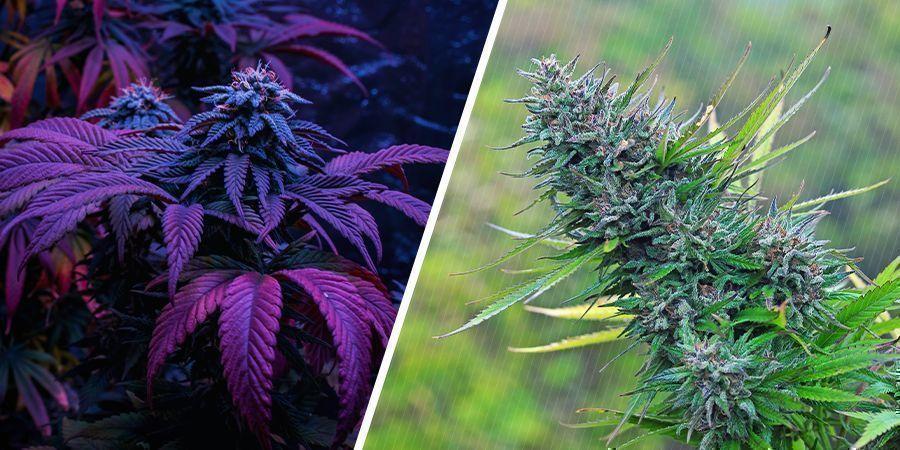 Qu'Est-Ce Qui Est De Meilleure Qualité — L'Herbe Cultivée En Intérieur Ou En Extérieur ?