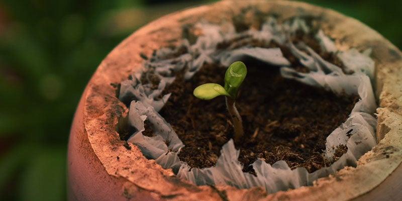 Comment Cultiver La Blueberry