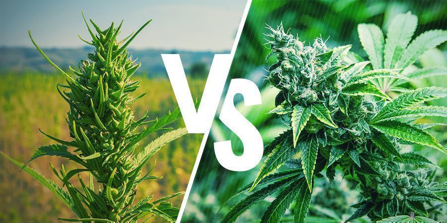 Apparence Cannabis