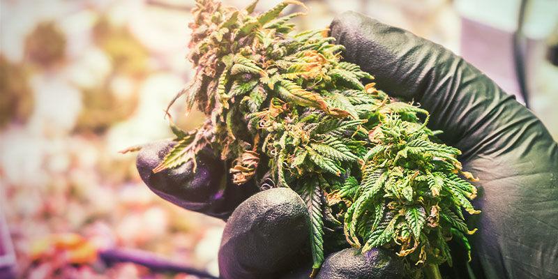 Vaincre Le Blocage D'absorption Des Nutriments Du Cannabis Et Profiter De Récoltes Énormes Et Saines