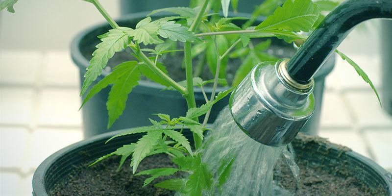 Comment Mettre Un Terme Au Blocage D'absorption Des Nutriments Du Cannabis