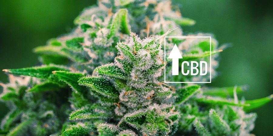 Cannabis Ruderalis : Il A Changé La Scène