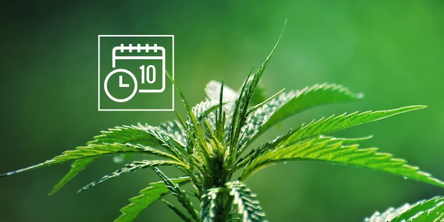 CANNABIS RUDERALIS FONCTIONNEL