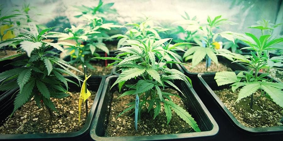 Choisir La Bonne Taille De Récipient Pour Vos Plants